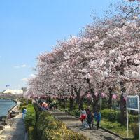 2017年の隅田川・桜の様子