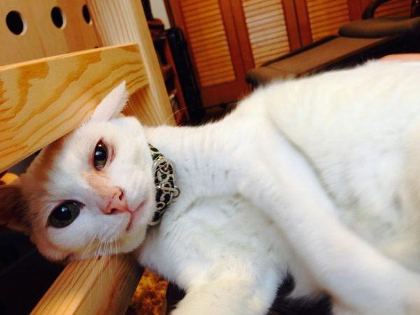 飼い猫ふくにゃん(本名は大福)