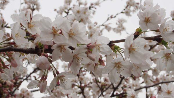 桜のアップ写真はやっぱり一眼レフ