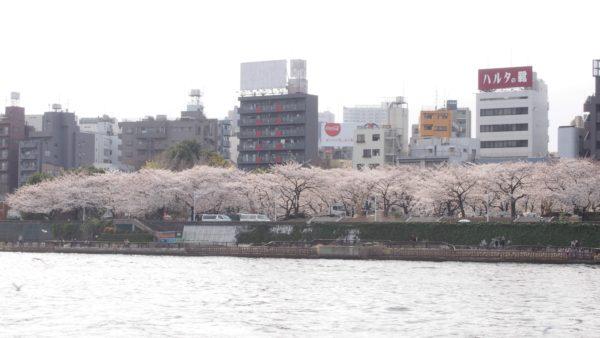 隅田公園対岸の墨堤。「墨堤さくらまつり」が開催されている