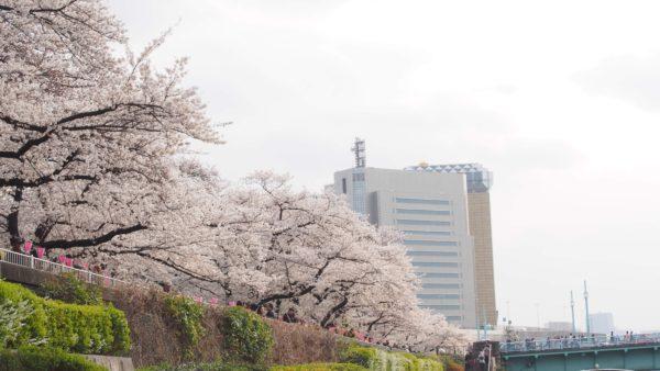 満開の桜!桜!桜!