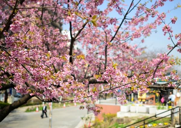 屋形船だと墨堤と隅田公園両側の桜を満喫