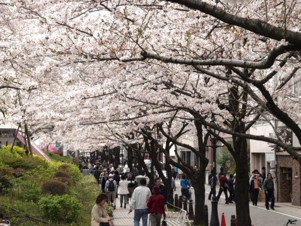 桜並木と花見客。このシーズンは、観光客に加え、花見客でいっぱいになる