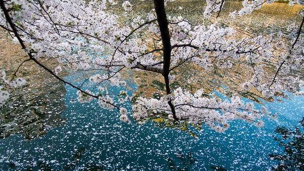 深川運河に浮かぶ桜