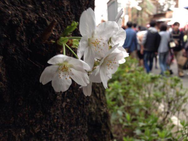 桜の木から直接花が咲いてる