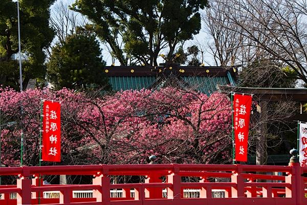荏原神社のカンヒザクラ