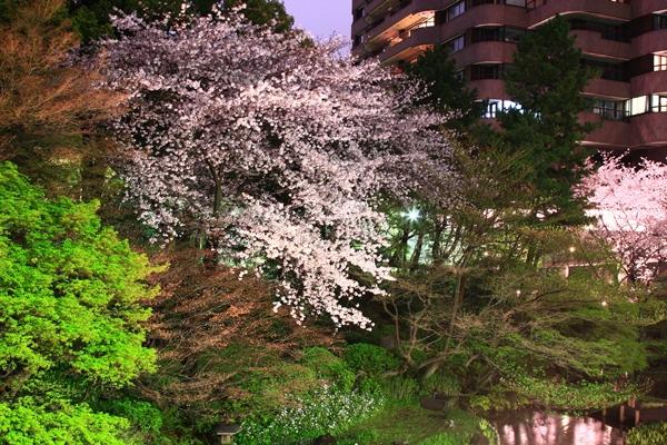 御殿山の夜桜