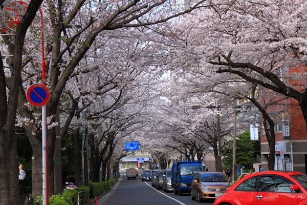 不動前・かむろ坂の桜並木
